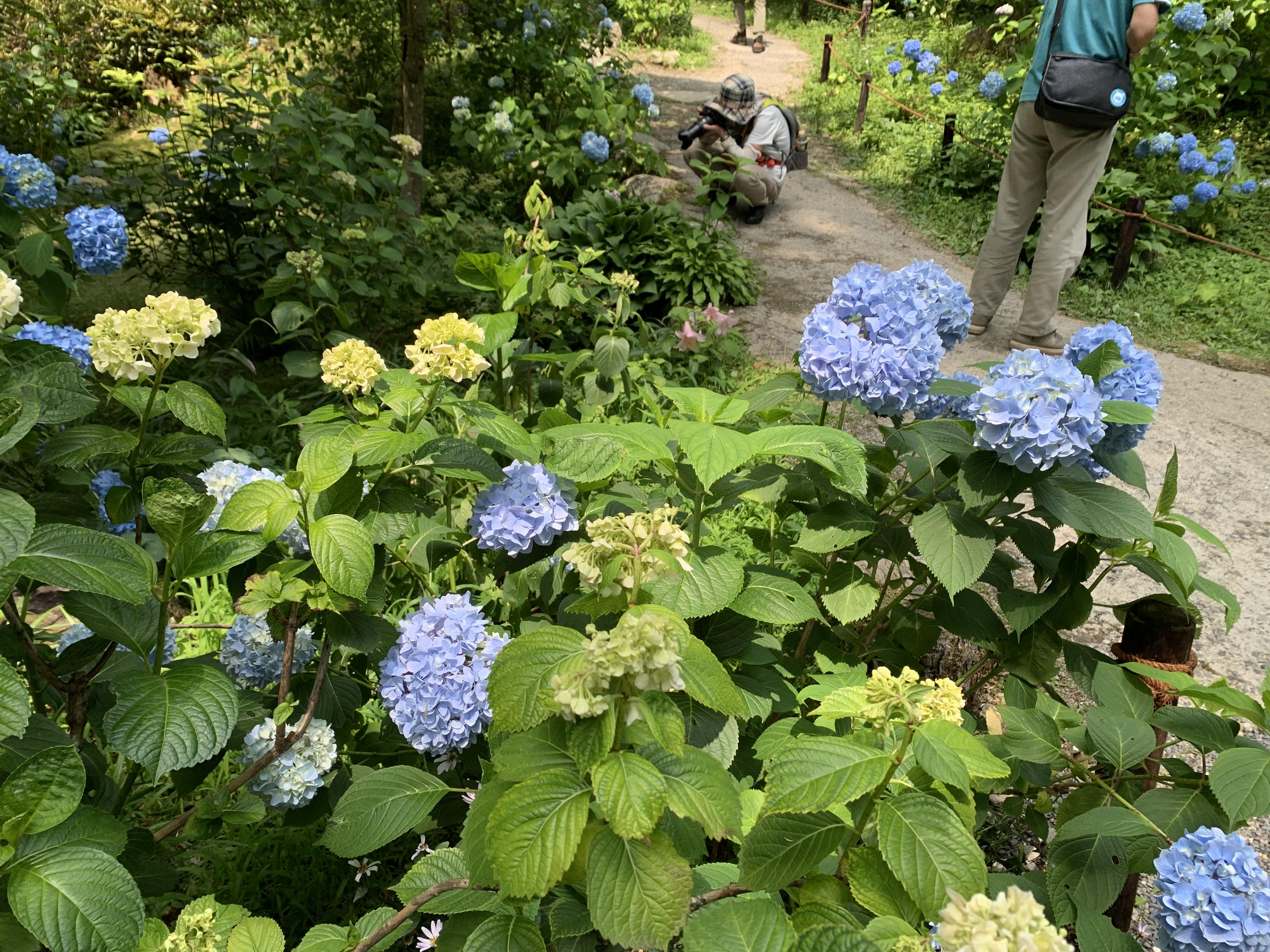 大原三千院の紫陽花